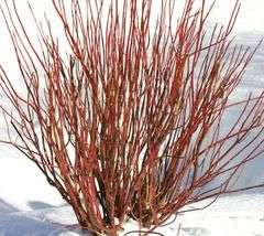 Arctic Fire™ Red Twig Dogwood