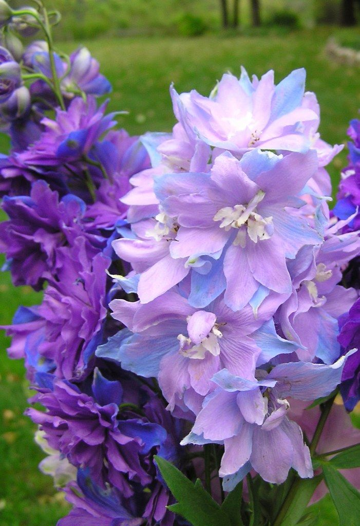 Delphinium 'Misty Mauves'/ATTRACTS: Ruby Throated Hummingbirds.