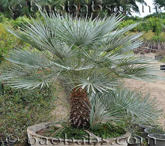 chamaerops humilis petit palmier bleu de l 39 atlas r sistant au froid gramin es. Black Bedroom Furniture Sets. Home Design Ideas