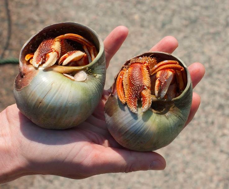 hermit crab and snail shell relationship