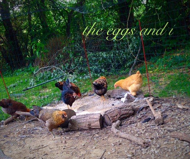 best backyard chickens facts about chickens best chickens for eggs