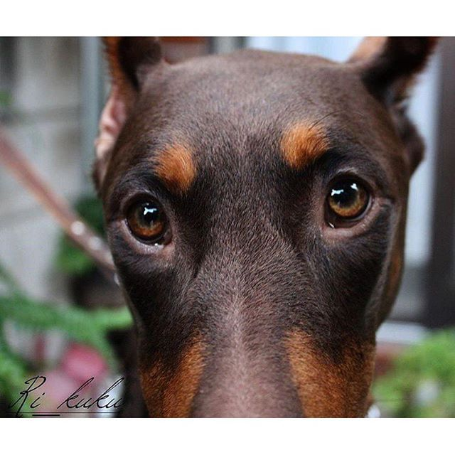 #Doberman. Those sweet eyes! | -doberman- | Doberman ...