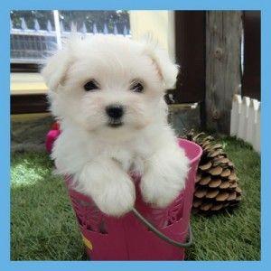 Criadero Cantillana dispone de más de 2500 metros cuadrados destinados a la cría de perros toy y miniatura (Yorkshire, Pomerania, Chihuahua y Bichón Maltés)