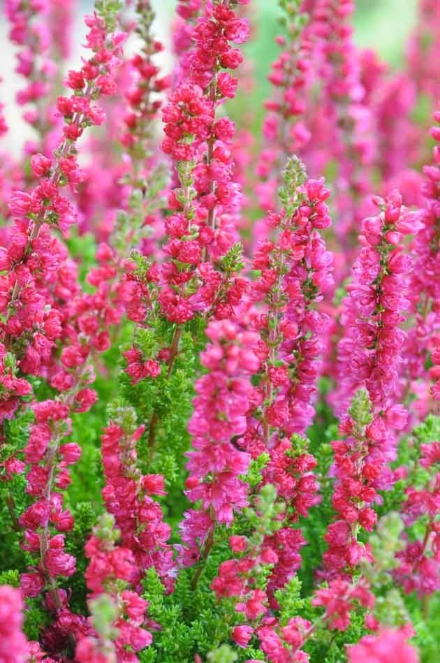 Calluna 'Dark Beauty' pot de 1 litre