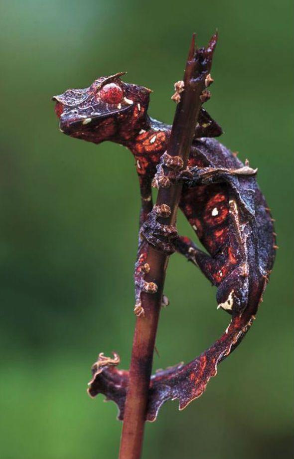 The satanic leaf-tailed gecko (Uroplatus phantasticus) is a real animal. Photograph taken by author, entomologist, and photographer Piotr Naskrecki.