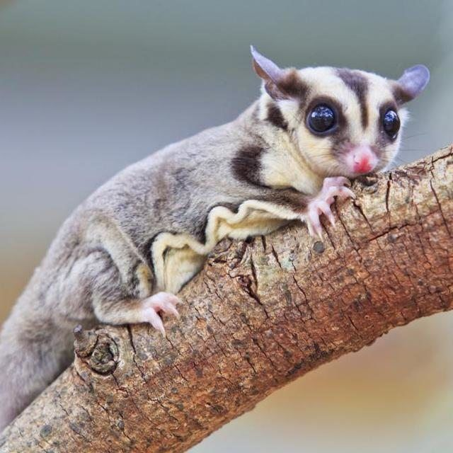 Sugar glider on tree branch
