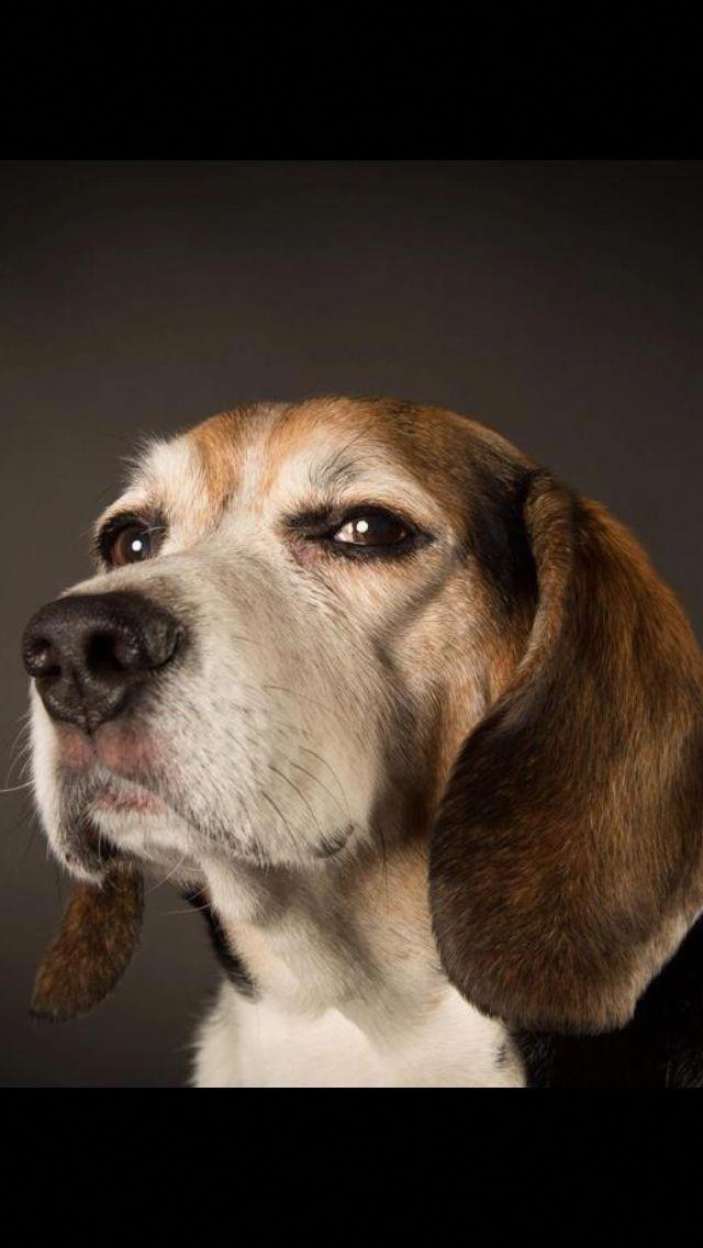 Beagle Dogs Beagle Beagle Puppy Beagle Dog Cute Beagles