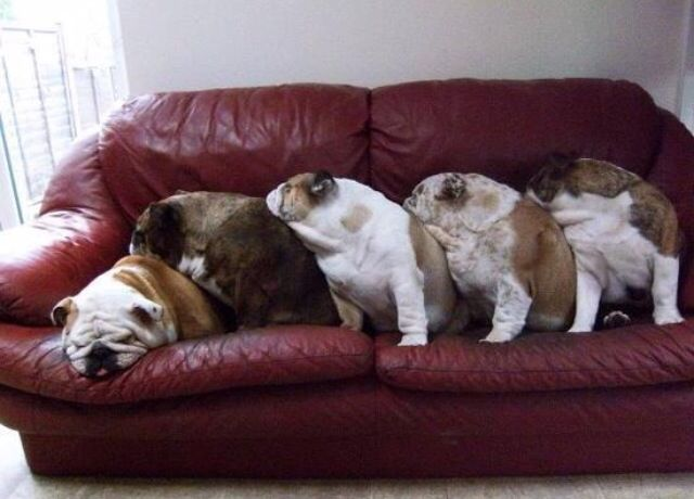 I found these bulldog pictures on the I love bulldogs facebook page. They all made me Laugh!!!!   English bulldog, funny