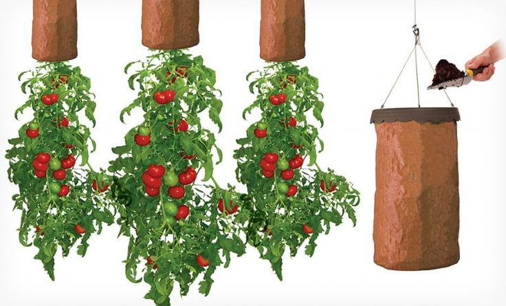 Grow Tomatoes Upside Down In Greenhouse From Ceiling