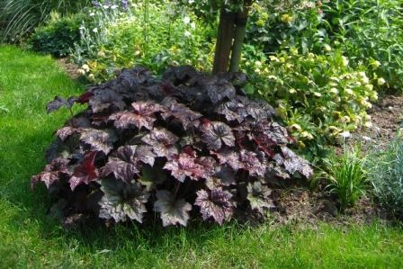 Image result for heuchera palace purple