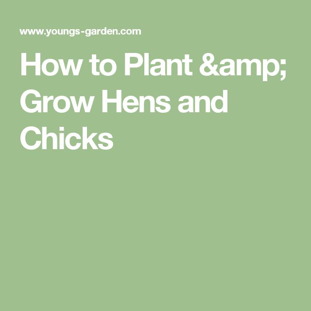 how to grow hens and chicks from seed