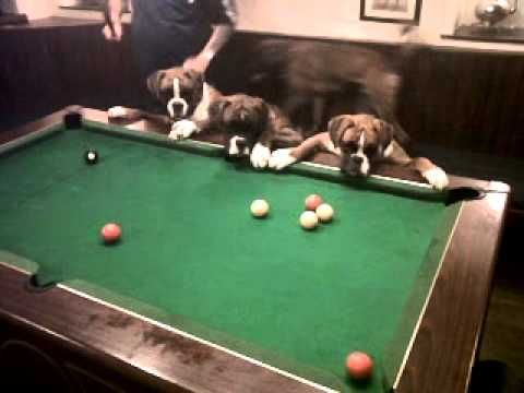 """Boxer dogs """"playing"""" pool. Note the collective lunge after the billiard balls."""