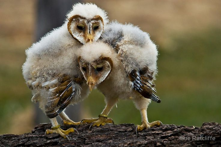 Baby Barn Owls | Things I like | Pinterest