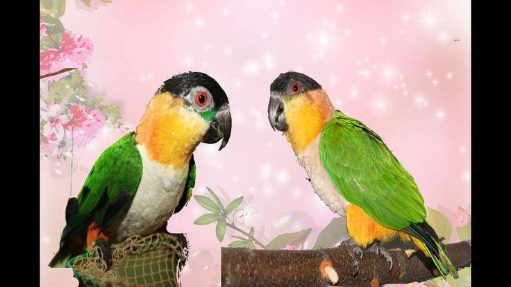 попугай танцует.  Говорящий попугай  Каик. parrot dances. Talking parrot...