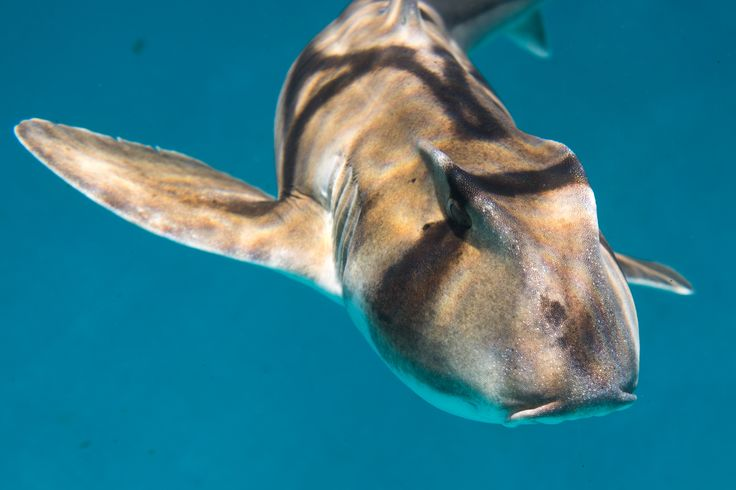 A group of Port Jackson Sharks will call Taronga home for the next two months, as part of a study delving into the social behaviour of sharks. Photo by Bluebottle Films
