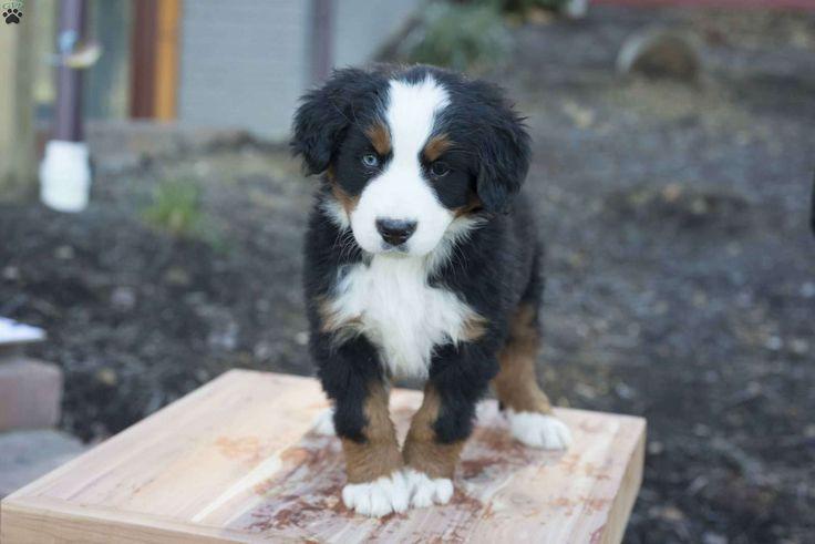 Dallas French Bulldog Mix Puppy For Sale in