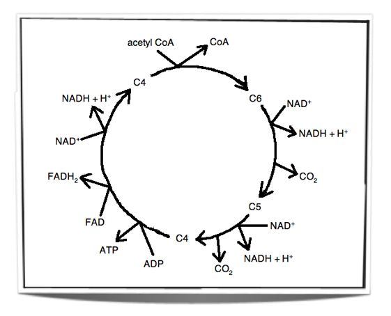 27 best The Krebs Cycle images on Pinterest | Biochemistry, Ap ...