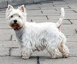 West Highland White Terrier - Guide to West Highland White Terrier at Pup.com