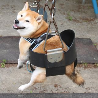Shiba Inu in a swing. | Funny Shiba Inus | Shiba inu, Cute ...
