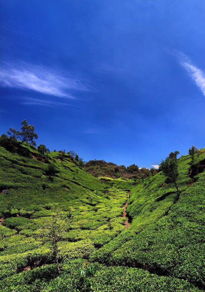 Ciwidey Tea Plantation, West Java