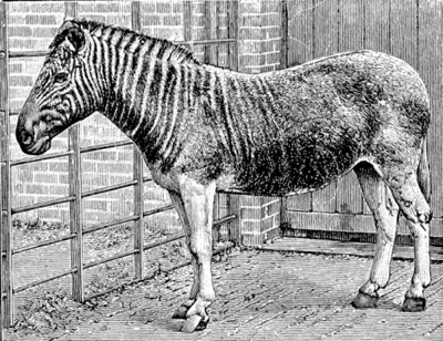 The quagga (Equus quagga quagga) was a species of plains' zebra which inhabited the vast plains of the Cape Province of South Africa. After struggling for its survival, the species eventually became extinct with the last one dying in the Amsterdam Zoo in 1883.