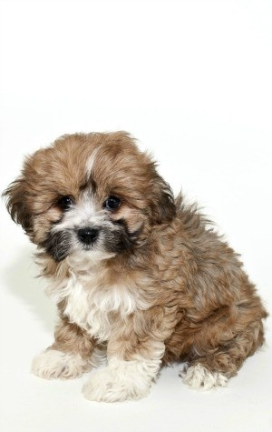 Cutest dog breeds Lhasa Apso Puppy