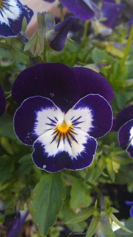 Purple Pansy Duncan 2014