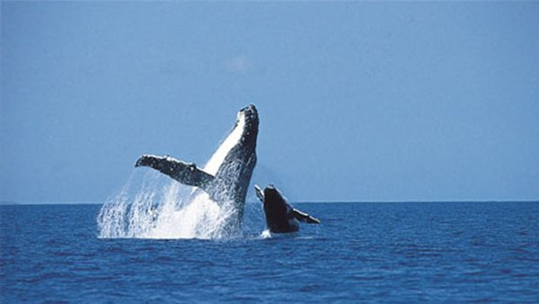 Whale Watching in Hawaii - experience the majestic humpback whales #Hawaii #Maui #Whales