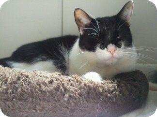 American shorthair cat breeders pa