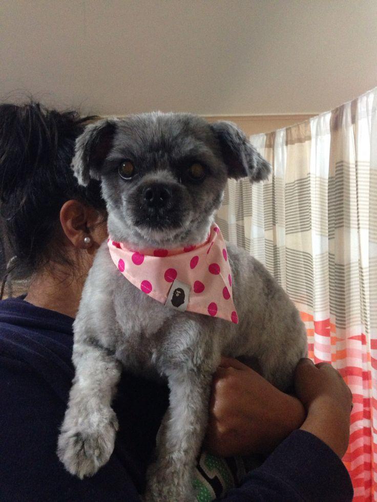 Pug X Maltese Macie