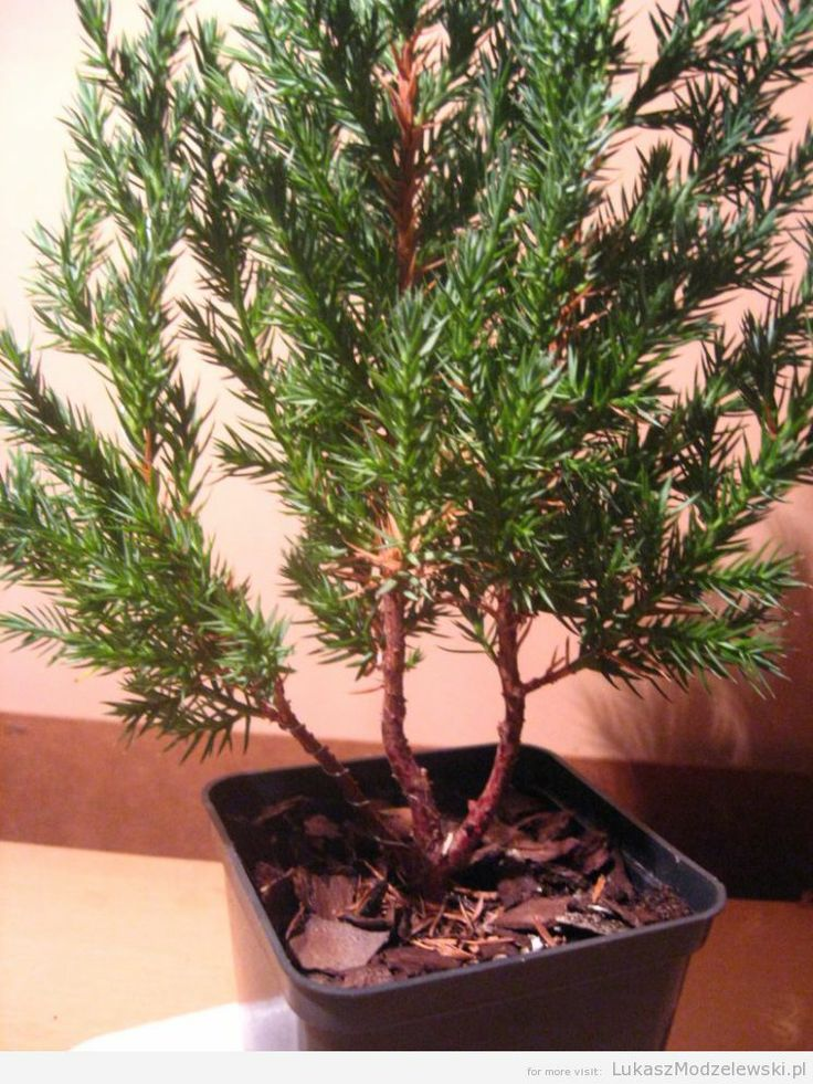 2nd tree, this one is still a mess but I need to think how to change it ^^ #bonsai #DIY #Stricta #Juniperus
