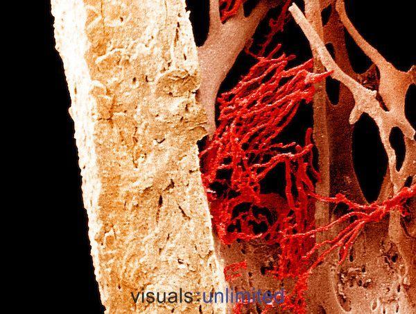 El hueso compacto y esponjoso del fémur junto con los vasos sanguíneos visibles visto con microscopio SEMx105. La imagen es de  Dr. Richard Kessel & Dr. Randy Kardon/Tissues & Organs/Visuals Unlimited,
