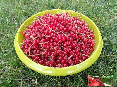 Prosto z ogrodu - czerwone porzeczki | Wiki Rose >>blog
