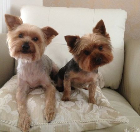 yorkshire terrier information 17 best ideas about yorkshire terrier rescue on pinterest 9295