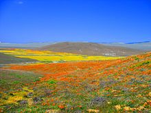 Antelope Valley, CA -- a carpet of wildflowers!