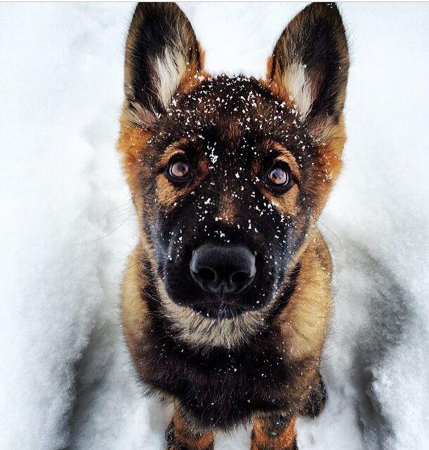 25+ Best Ideas About German Shepherd Training On Pinterest