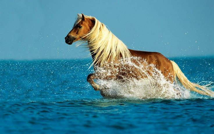 A Palomino plays in the water.