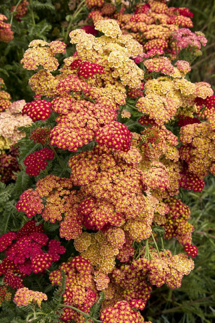 Strawberry Seduction Yarrow's rich, velvety red flowers dance atop long stems. Dense, upright, habit and long blooming period. Attractive in both cut and dried flower arrangements. Ideal in sunny beds and borders. Great addition to the butterfly garden. Heat loving and drought tolerant once established. Zone 3-8 Cutting Garden Cut flowers Flower Gardening