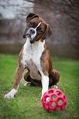boxer head tilt, their expressions are adorable !