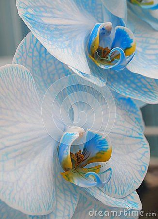 A beautiful white and blue orchid