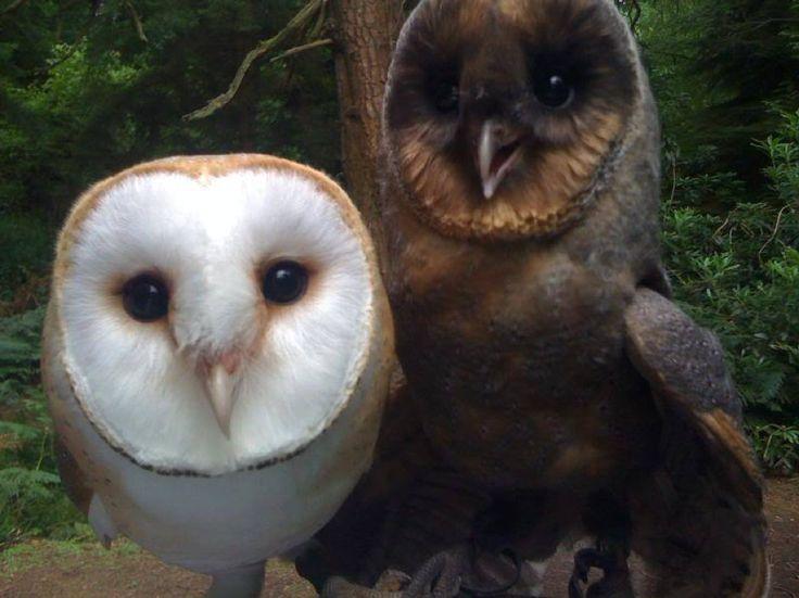 Barn Owl with melanic coloring (opposite of albino)
