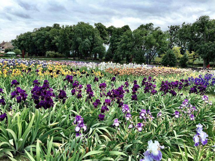 Le champ d'iris haut en couleurs (2015)