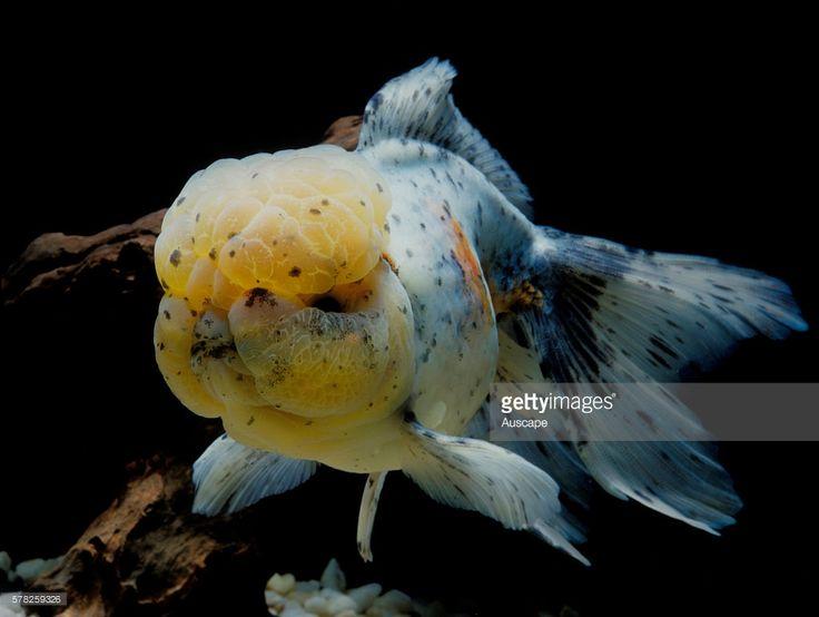 Shubunkin goldfish, Carassius auratus auratus, in aquarium. Shubunkin is a single-tail variety of goldfish.