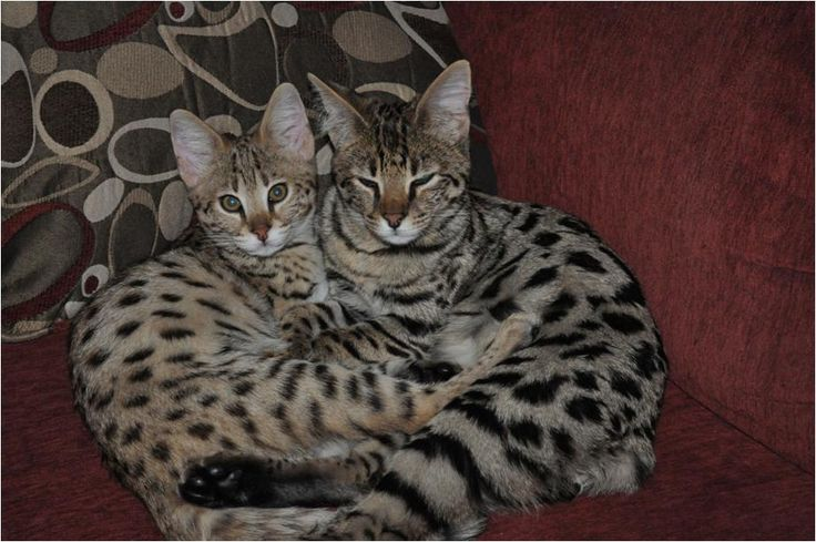 savanah cat | f1 f2 and f3 savannah cat is a very playful cat which adapts itself ...