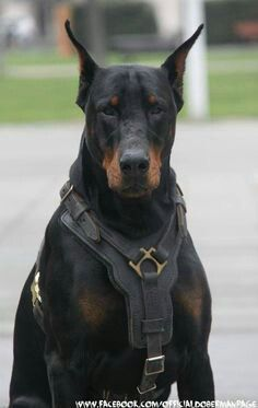 This Doberman is amazing!!                                                                                                                                                      More
