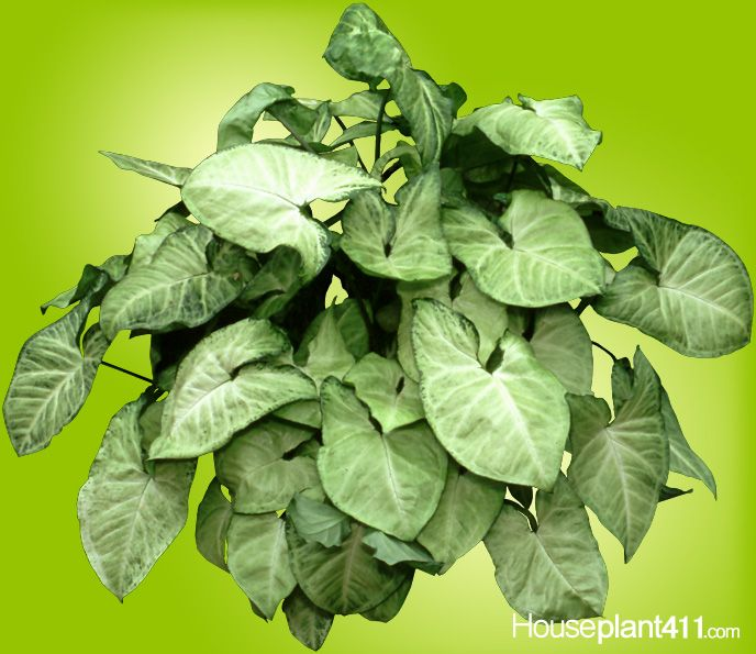 lovely white green leaves on easy care arrowhead plants makes them ideal houseplants