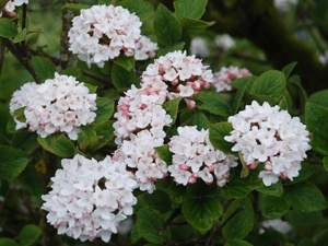 Viburnum Carlcephalum - Fragrant flowering Shrub. Combines well with Ornamental Grasses, KnockOut Roses, Butterfly Bush