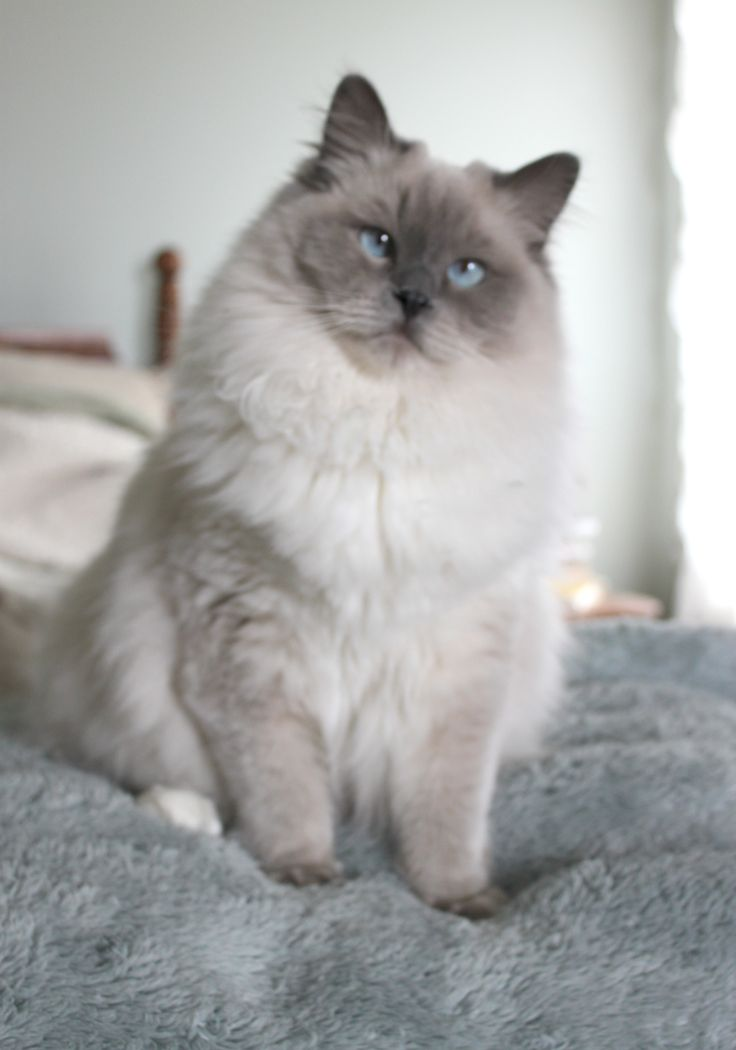 My beautiful Gracie, 2014 Blue Point Mitted RagDoll