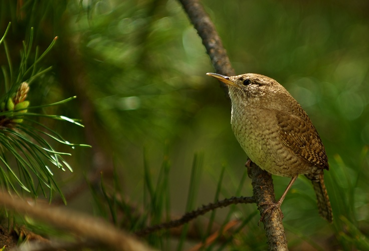 House Wren photographed at Chambers Bay WA