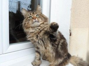 FIVE est un mâle Maine Coon loof polydactyle ( c est à dire qu'il a de grosses pattes )  il est castré vacciné pucé vermifugé et traité antiparasite il est né le 1 er mai 2010. C'est un chat très affectueux, Les chats libres de Nîmes(Gard)